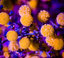 Disco Wattle... by Lass With a Camera