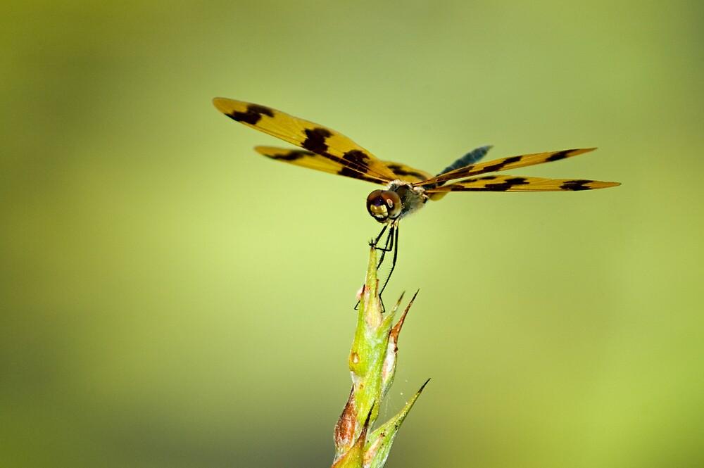 Banded Flutterer Dragonfly by J Harland