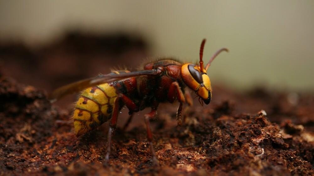 Hornet 2 by fandango23