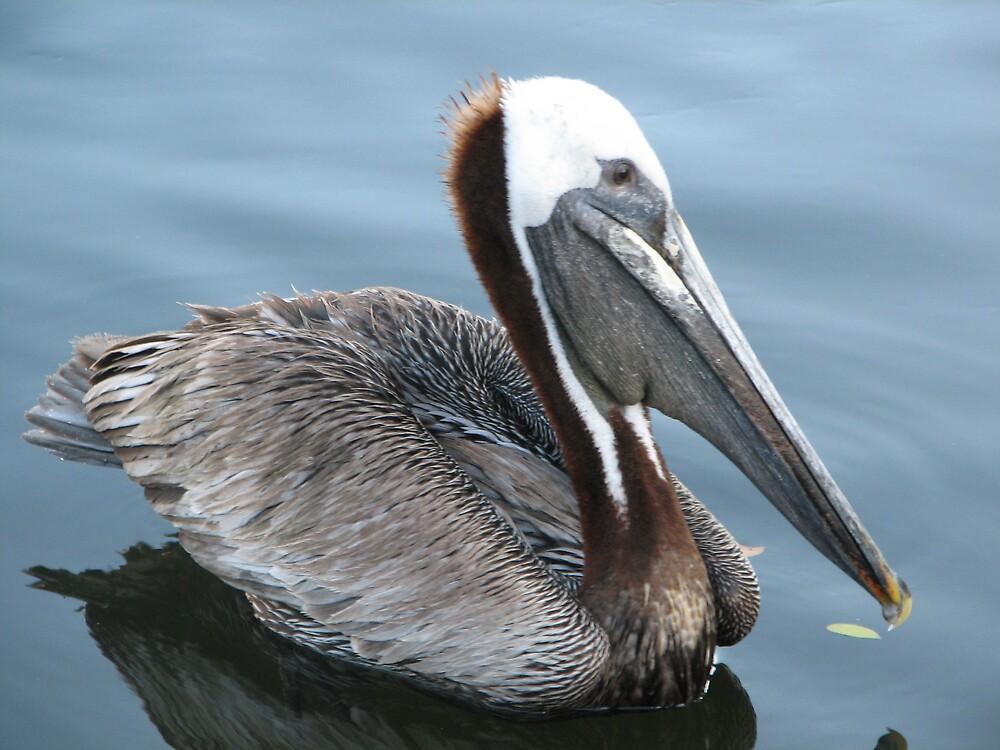 Cool Pelican by danita