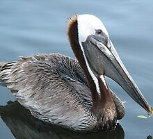 Cool Pelican by danita