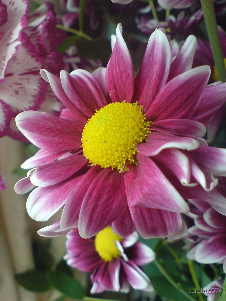 Purple daisy by tarabas57
