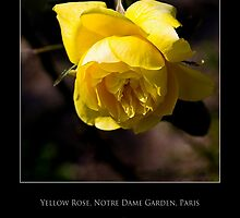 Yellow Rose - Cool Stuff by Maria A. Barnowl