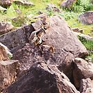 Rock Wallabies, Flinders Ranges, South Australia by Jan Stead JEMproductions