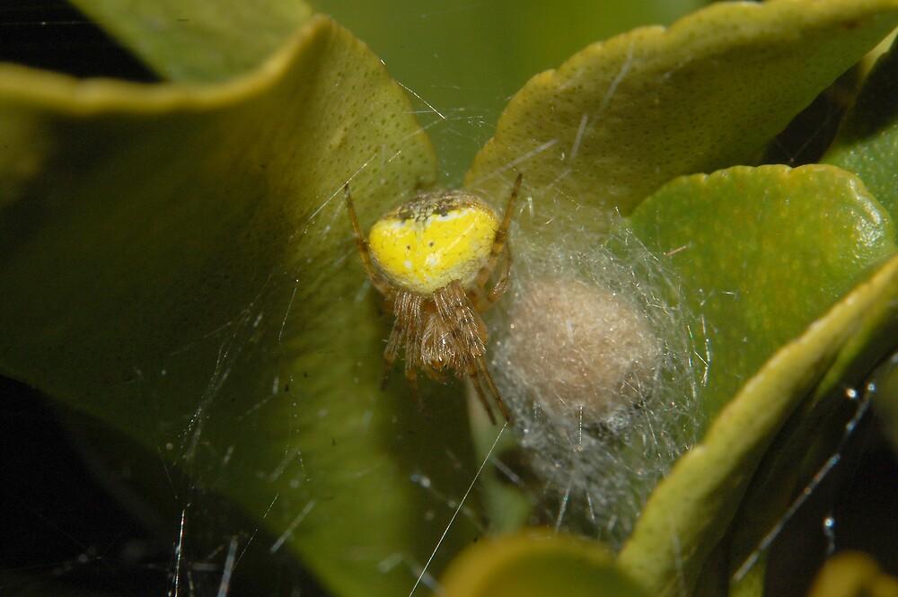 Flower Spider by David  Hall