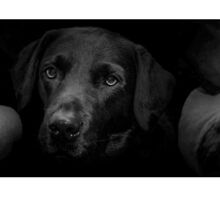 3 Black Labs by JFPhotography