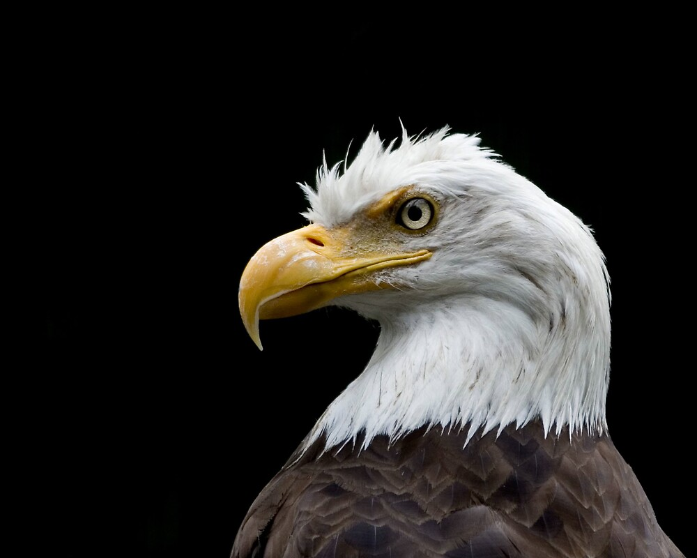 Bald Eagle by Rob Whiting