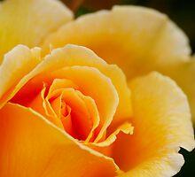 Peach Rose 3 by Geoff White