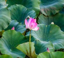 Water Lilies Sticker