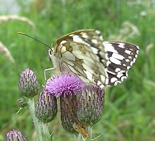 Marbled White Butterfly sideview by iammeasiam
