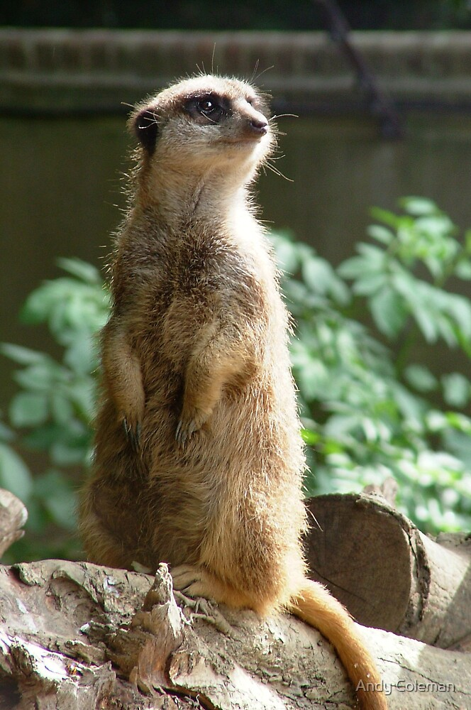 A Meercat by Andy Coleman