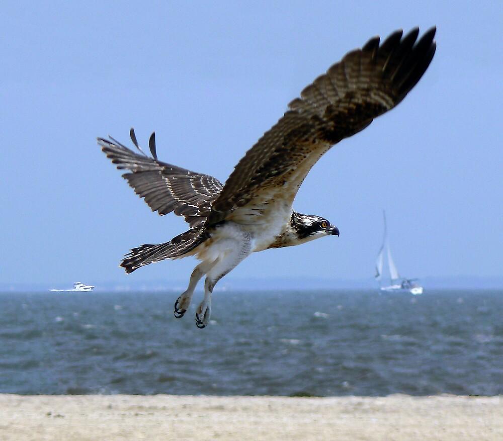 Osprey by Amandart
