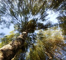 Treetop (from Below) by Thelonius