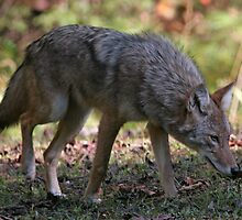 Coyote by Gary L   Suddath