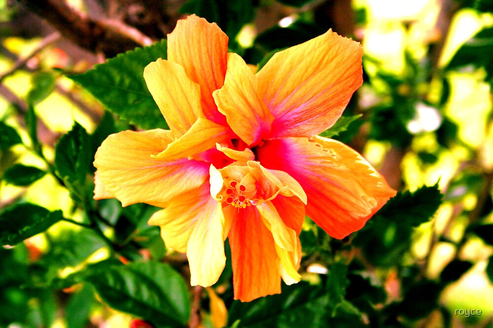 Tropical Hibiscus by royce