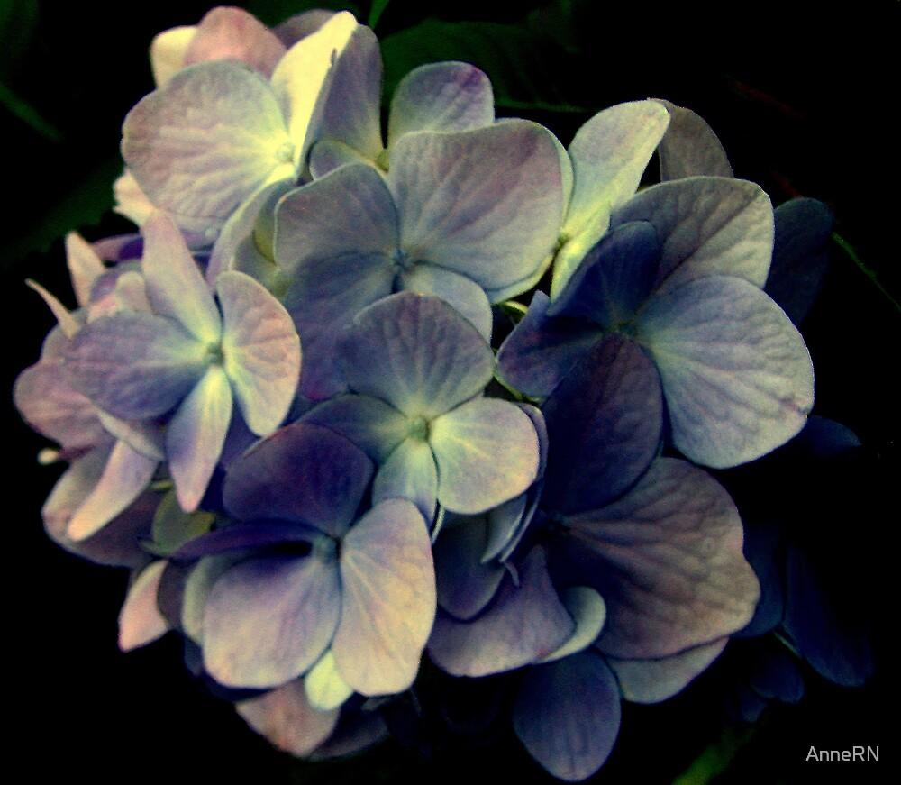 Blue Hydrangea by AnneRN