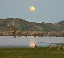 Roos in the Moonlight by Craig Myers