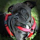 english bulldog puppy by rkss