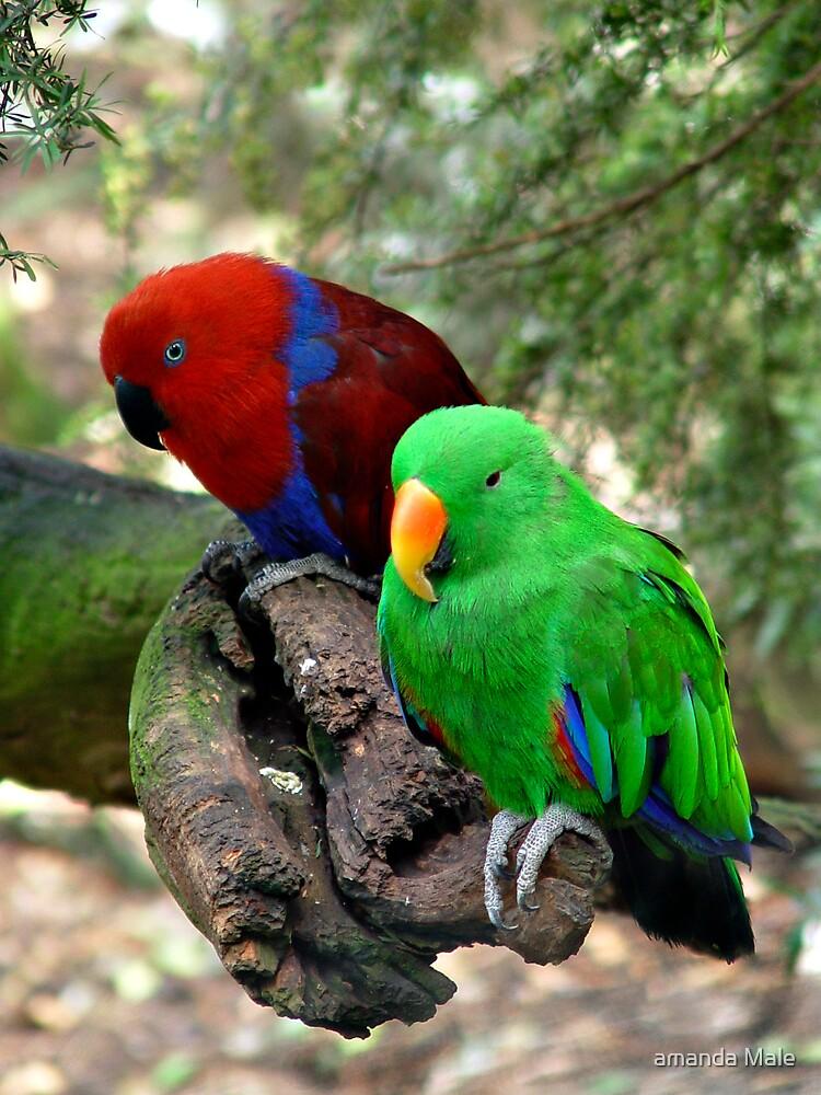 birds by amanda Male