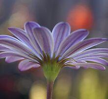 'neath the daisy by Steve Thomas