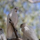 Three White Cockatoo&#x27;s by Ross Campbell