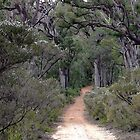 The Walk to Goblin Swamp, near Pemberton, Western Australia by Maureen Smith