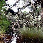 Goblin Swamp, near Pemberton, Western Australia by Maureen Smith