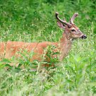 Deer In A Field by Gary L   Suddath