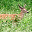 Deer In A Field by Gary L   Suddath