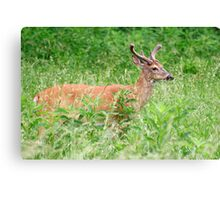 Deer In A Field Canvas Print