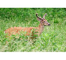 Deer In A Field Photographic Print