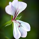 Pelargonium by Jennie  Stock