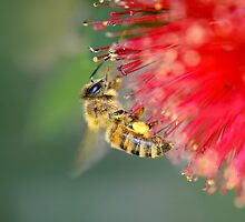 Bee on red callistemon by Jennie  Stock