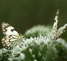 """Two Posing... """"Brown-veined White butterfly"""" (Belenois aurota) Free State, South Africa by Qnita"""