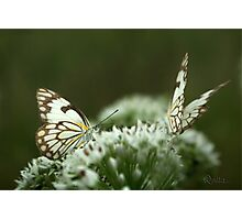 """Two Posing... """"Brown-veined White butterfly"""" (Belenois aurota) Free State, South Africa Photographic Print"""