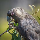 Carnaby's cockatoo feeding on hakea by Jennie  Stock
