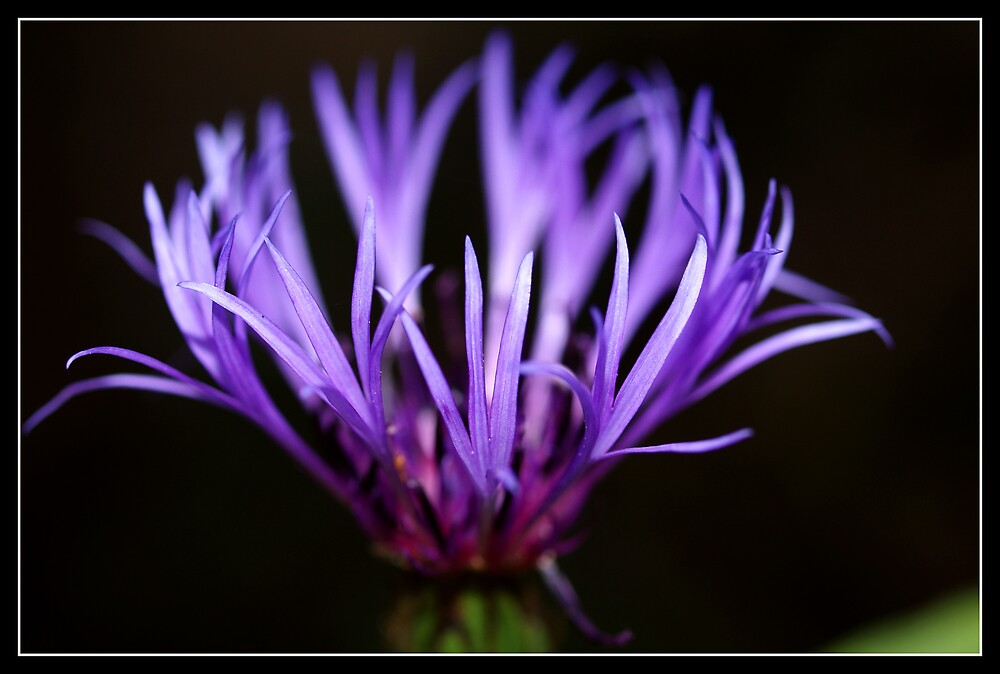 Violaceous by Jenni77