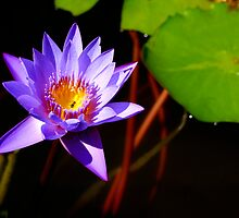 Water Lily by ozczecho