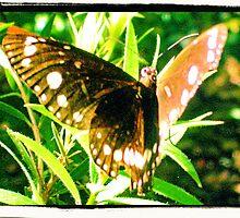 Backyard Butterfly by redpen