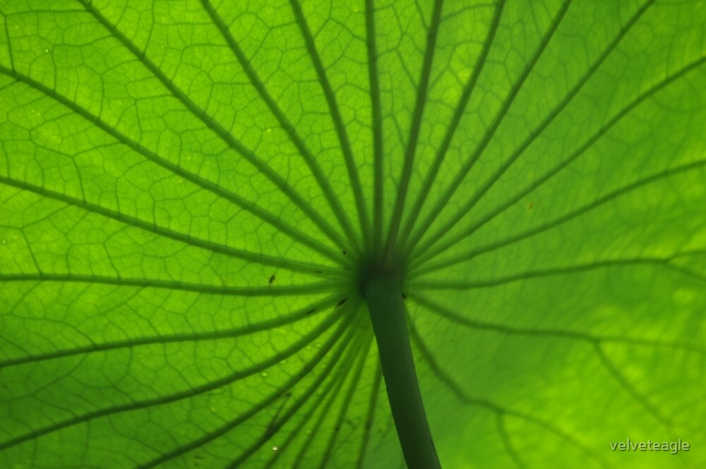 Under Lotus Leaf by velveteagle