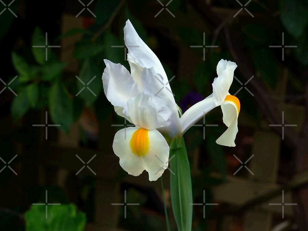White Iris - Oil Painting by Sandra Chung