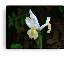 White Iris - Oil Painting Canvas Print