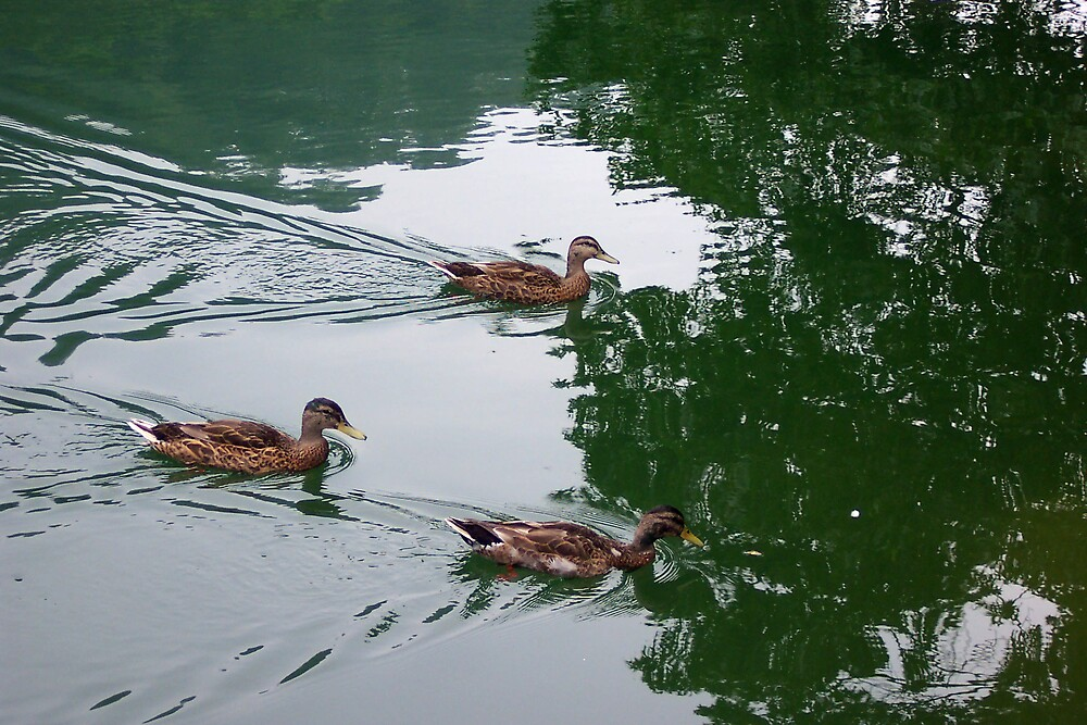 Duck Pond by Cardet