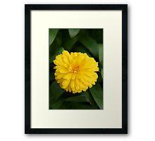 Yellow Chrysanthemum IV Framed Print