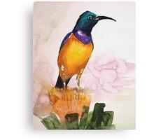 Orange-breasted Sunbird (Nectarinia violacea) Canvas Print