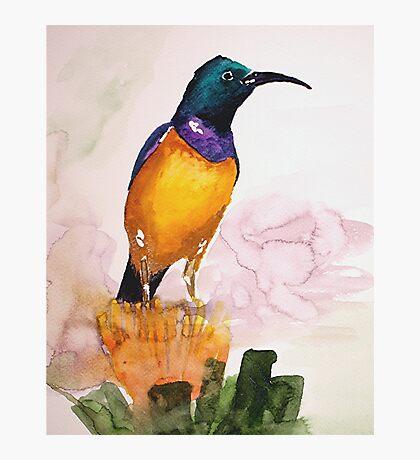 Orange-breasted Sunbird (Nectarinia violacea) Photographic Print