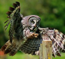 Great Grey Owl by JamieP