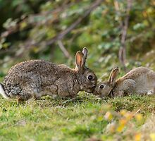 Natural World - Wild Rabbit's by Alius Imago