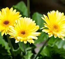 Yellow daisies  by moregoodart