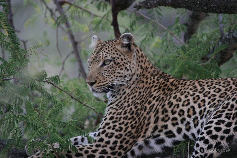 Leopard In Tree by Jeff Zaboroski